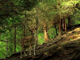 Deer In The Forest Hd Wallpaper | Wallpaper List 1252