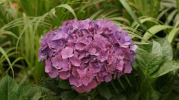 Beautiful Pink Hydrangea Flower Hd Wallpaper | Wallpaper List 497