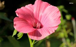 Beautiful blossomed pink hibiscus close up wallpaperFlower 1852