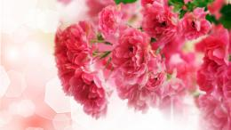 Close up of pink carnation flowers Wallpaper, Desktop Wallpapers, Free 580