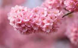 cherry twigs wood flowers pink petals close up blurred macro wallpaper 1347