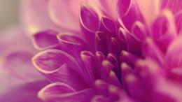 Close Up Pink Flower | Full HD Desktop Wallpapers 1080p 1856