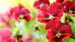 Beautiful Red Pansy Flowers Up Close Wallpaper Picture For iPhone 1062