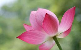 Flower Wallpapers,Dream beautiful lotus flower close up photography 306