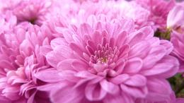 pink flower close up wallpaper, 1920 x 1080 Wallpaper, HD Wallpaper 332
