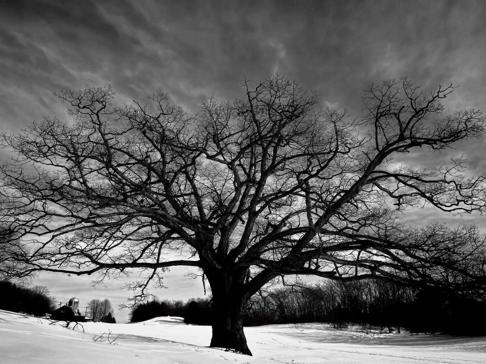 Download Big oak tree black and white wallpaper in Nature wallpapers 727