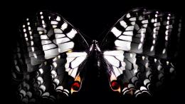 Black & White Butterfly Hd Wallpaper | Wallpaper List 960