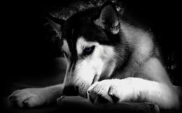 Similar wallpapers for Black and white Husky dog 618