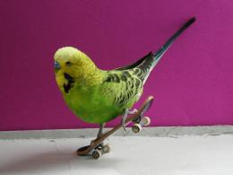 Wallpaper budgie birds on a skateboardWallpapers 3d for desktop, 3d 628