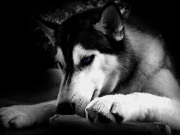 Black And White Husky Dog Hd Wallpaper | Wallpaper List 407
