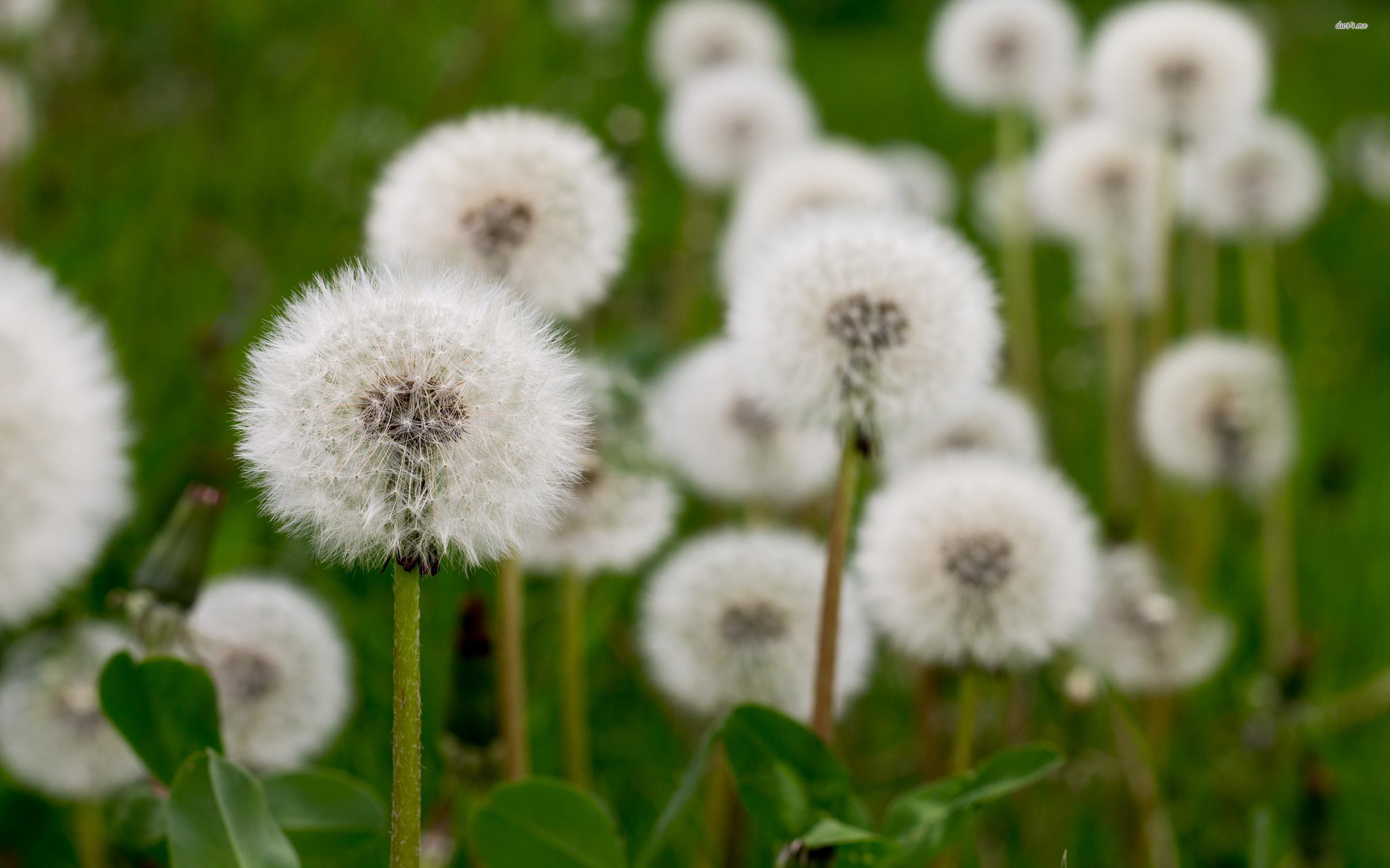 Field of blowballs on a cloudy day wallpaperFlower wallpapers 450