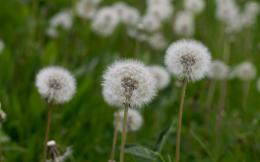 Field of blowballs on a cloudy day wallpaperFlower wallpapers 1562