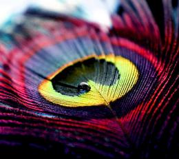 Colorful Peacock Feather Abstract Photography #6971 Wallpaper 281