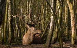 download majestic deer in the forest wallpaper in animals wallpapers 532