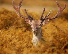 Download Majestic deer wallpaper in Animals wallpapers with all 444
