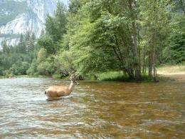 Merced River Deer by StuartGilbert on deviantART 586