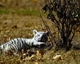 Little White Tiger Licking His Foot Hd Wallpaper | Wallpaper List 1938