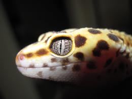 Leopard Gecko Eye | Amazing Wallpapers 802