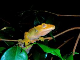 CRESTED GECKO CLOSE UP EYESReptiles Wallpaper23877584Fanpop 1768