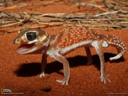 Gecko PictureAnimal WallpaperNational Geographic Photo of the 644