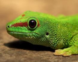Big Eye Gecko Close Up desktop wallpaper | WallpaperPixel 1785