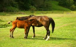 download horses on green meadow wallpaper tags horses field green 1782