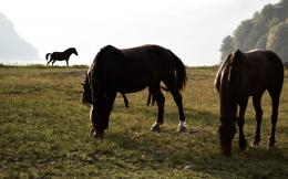 Brown horses on the meadow wallpaperAnimal wallpapers#48686 488