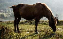 Brown horse on the meadow wallpaperAnimal wallpapers#3096 1502