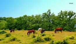 Horses on a meadow wallpaperAnimal wallpapers#1329 102