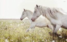 horses running on the meadow wallpaperAnimal wallpapers#47531 1518