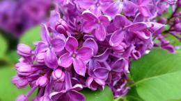 Lilac flower purple petals leaves nature 1920x1080 1782