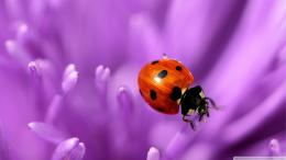 On Purple Petals Wallpaper 1920x1080 Ladybug, On, Purple, Petals 1345