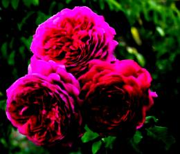 Purple roses flowers nature petals:High Contrast 768