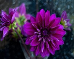 Purple dahlias petals bud flower nature 1280x1024 1832
