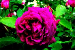 Purple beauty nature leaves roses petals:High Contrast 968