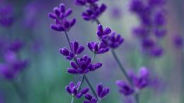 Lavender purple petals macro, blurred background Wallpaper | 1600x900 912