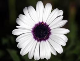 flower purple petals center white nature HD Wallpaper 436