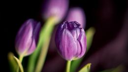 purple petals of spring Wallpaper | 1600x900 resolution wallpaper 1268