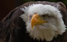 eagle wallpaperwww high definition wallpaper com 1420