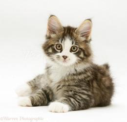 WP35530 Tabby and white Maine Coon kitten, lying with head up 557