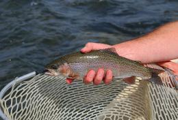 MADISON RIVER RAINBOWResearch specimen; caught and released 346