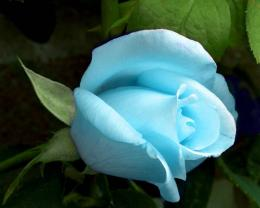Light Blue Rose, Beautifull !! 1970