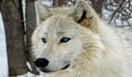Wolf With Blue Eyes Hd Wallpaper | Wallpaper List 1311