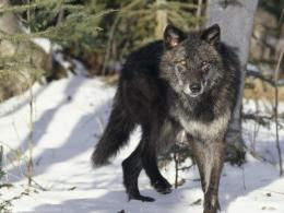 download black gray wolf wallpaper in animals wallpapers with all 1926