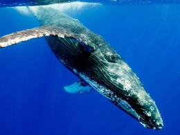humpback whale wallpaper in Animals wallpapers with all resolutions 1582