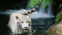 majestic standTigers need huntTigers and water 1513