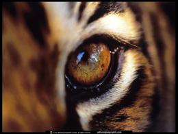 Tiger EyeAmur Tigers Wallpaper27143749Fanpop 762