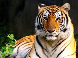 Colors of Nature Tiger HD Wallpapers| HD Wallpapers ,Backgrounds 1929