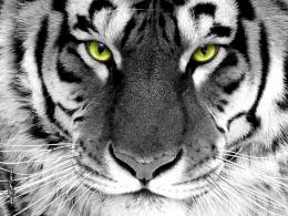 Download wallpaper: tiger with green eyes, photo, download wallpapers 154