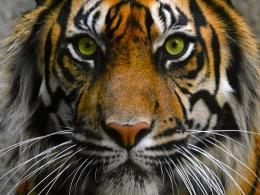 Tiger Eyes WallpaperHD Wallpapers and Pictures 1522